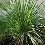 Ornamental Lemongrass