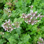 Turkish Oregano