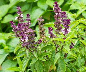 holy basil power can be mixed to whiten teeth