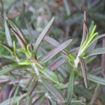 Frost Hardy Rosemary