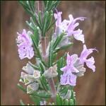 Majorca Pink Rosemary