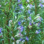 Tuscan Blue Rosemary