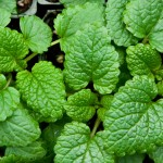 Lemon Balm, or Melissa Mint