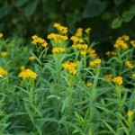 Mexican Marigold Mint