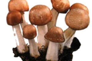 Health benefits of Agaricus Blazei Mushroom