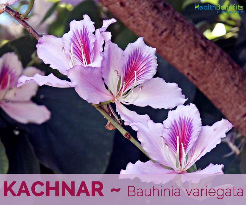 Health benefits of Kachnar