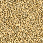 Soft Red Winter Wheat