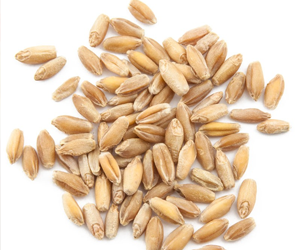 triticale nutrition facts and health benefits hb times