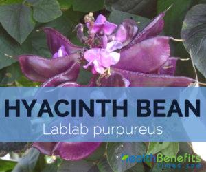 Hyacinth-beans---Lablab-purpureus
