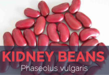 Kidney bean - Phaseolus vulgaris