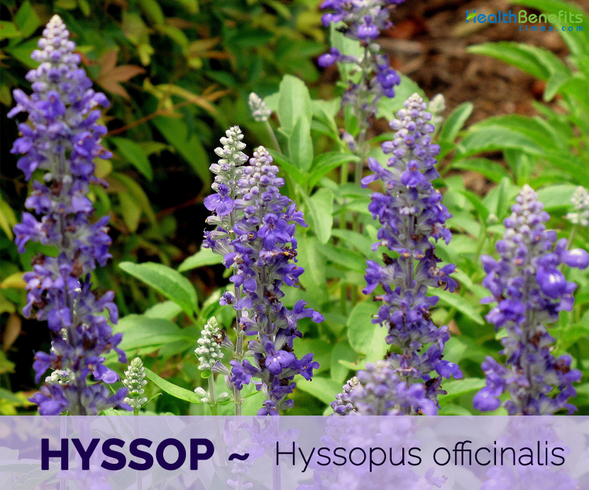 Top 7 health benefits of Hyssop