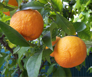 Health benefits of Bitter Orange