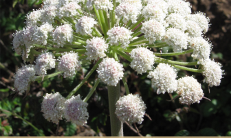 Health benefits of Angelica Herb