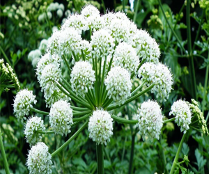 Health benefits of Angelica Herb