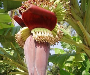 Health Benefits of Banana Flower
