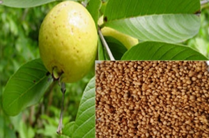 Health Benefits of Guava seeds