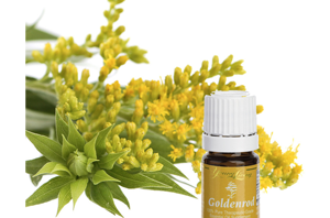 Health benefits of Goldenrod essential oil