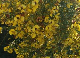 Honeybush (Cyclopia)