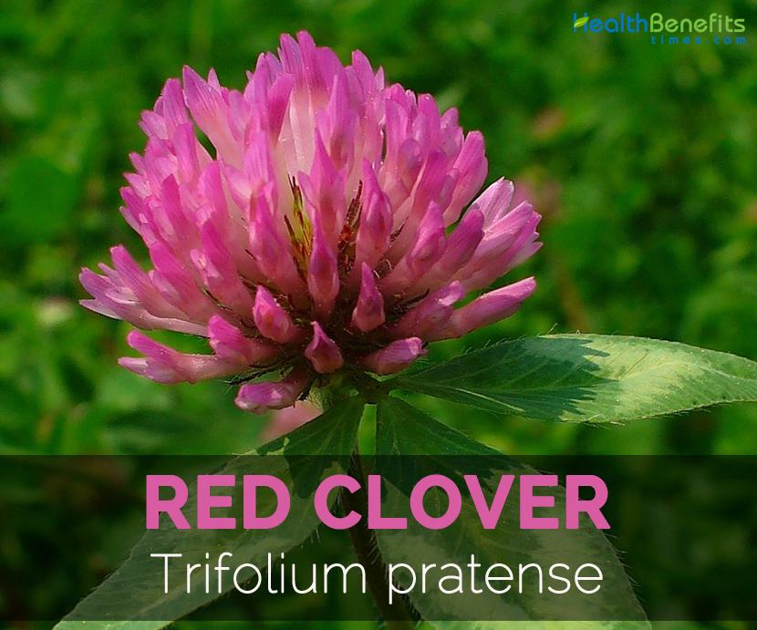 Red-Clover-Trifolium-pratense