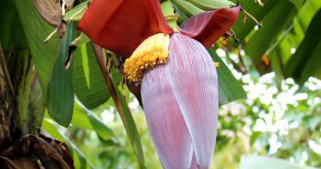 Banana Flower - Musa