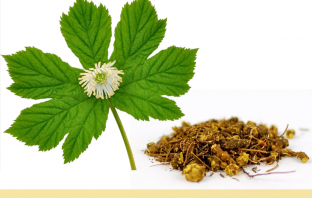 17 benefits of Goldenseal (Orangeroot)