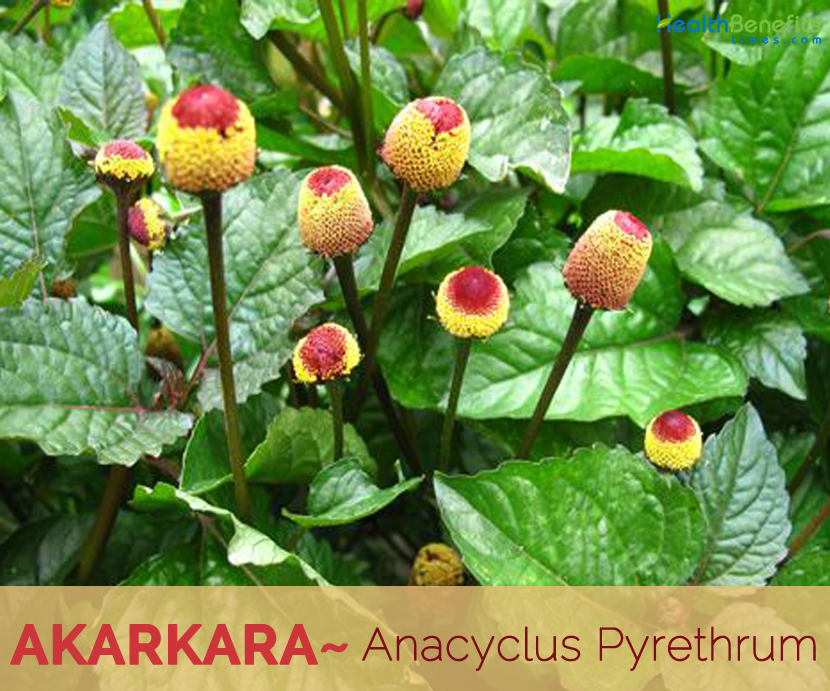 Akarkara-health-benefits