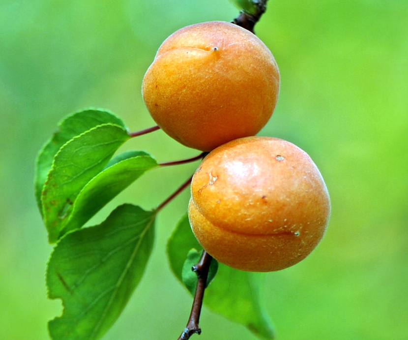 Apricot Facts