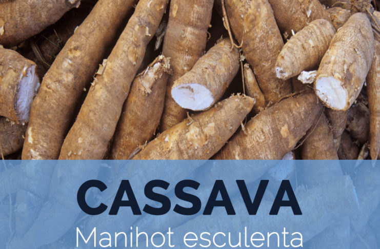 the effectiveness of cassava manihot esculenta Cassava (manihot esculenta) plant the weight of each tuber varies from one to quite a few pounds, subject to the type of cultivar cassava (manihot esculenta) health benefits compared to potatoes, the calorie content of cassava is almost two-fold this may possibly be the highest calorie content for.