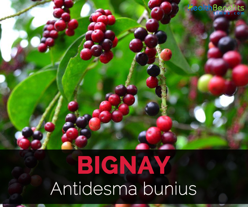 bignay antidesma bunius leaves as a Bignay is a barangay in valenzuela city and it was named after a tree called bignay or antidesma bunius that is plentiful in the area it is located in the north-eastern part of valenzuela and belongs to the 1st district.