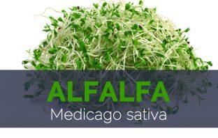 Alfalfa - Medicago sativa