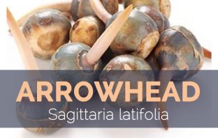 Arrowhead - Sagittaria latifolia