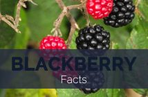 Blackberry Facts