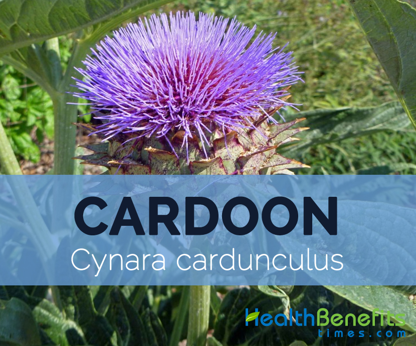 Cardoon---Cynara-cardunculus