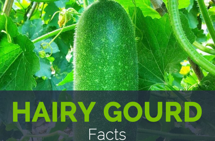 Hairy Gourd Facts