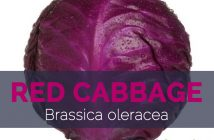 Red Cabbage - Brassica oleracea