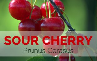 Sour Cherry – Prunus cerasus