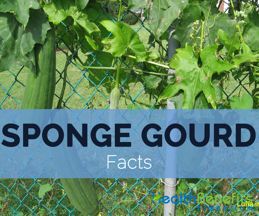 Sponge-gourd-facts
