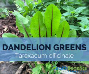 Dandelion-greens-–-Taraxacum-officinale