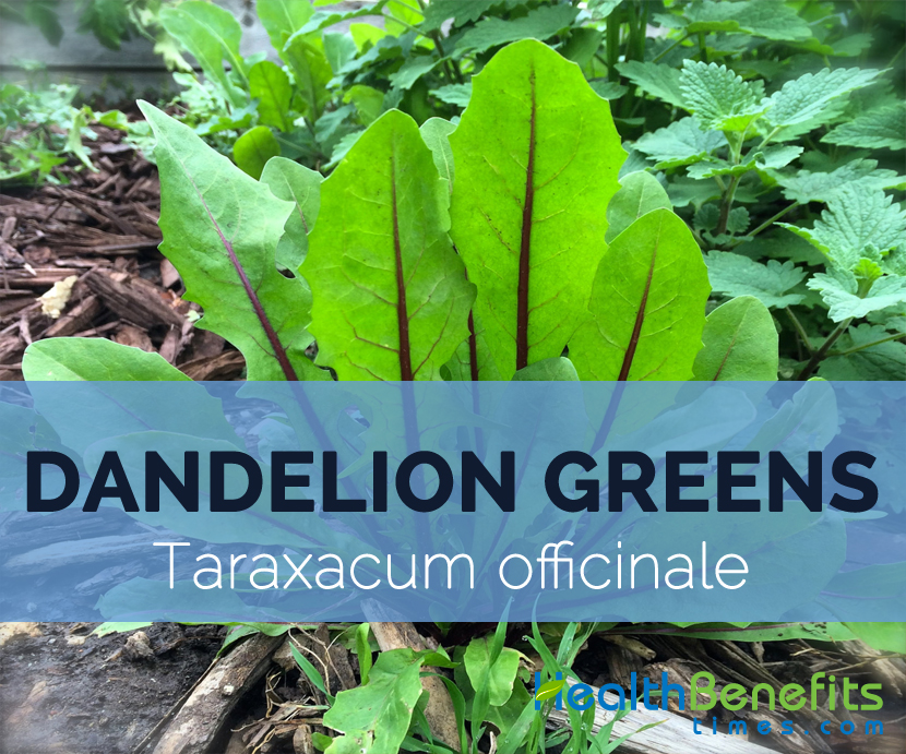 Dandelion-greens-–-Taraxacum-officinale