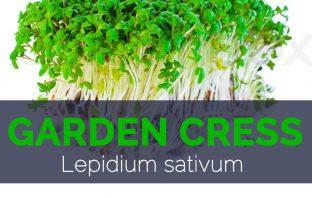 Garden Cress - Lepidium sativum