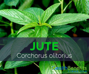 Jute - Corchorus olitorius