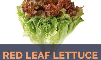Red Leaf Lettuce - Lactuca sativa var. crispa