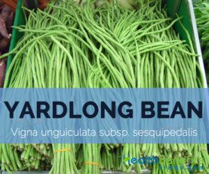 Yardlong-bean---Vigna-unguiculata-subsp.-sesquipedalis