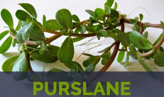 Purslane facts and health benefits