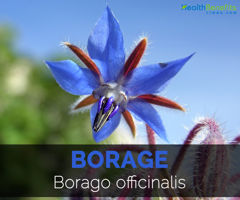 Borage-Borago-officinalis