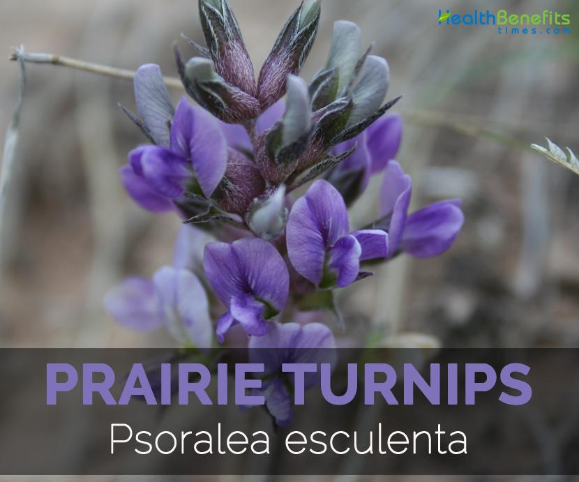 Prairie-Turnips-Psoralea-esculenta