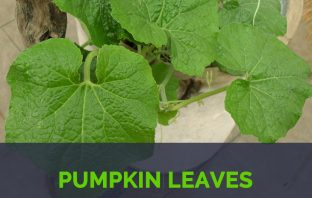 Pumpkin leaves facts and