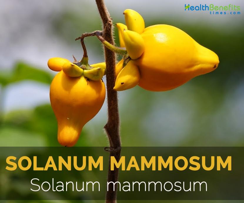 Solanum-mammosum---Solanum-mammosum-L.