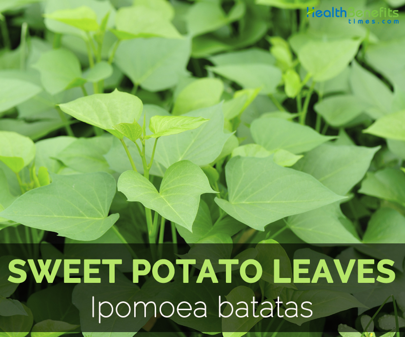 leaves-of-sweet-potato