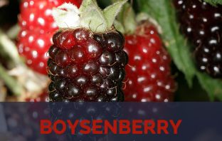Boysenberry facts and health benefits